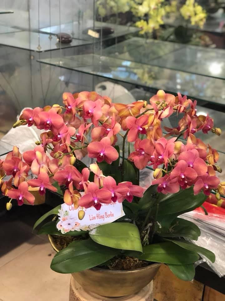 Những mẫu hoa lan hồ điệp sang - đẹp cho Tết 2020 tại Hoa Việt Pháp