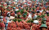 Trung Quốc mua 91% lượng quả vải Việt Nam, giá chỉ hơn 9.300 đồng/kg