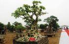 Chiêm ngưỡng cây bồ đề có bộ rễ 'ảo diệu'