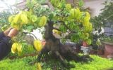 Cận cảnh cây khế bonsai thế dáng đẹp lạ nhưng có giá 'rẻ' như cho