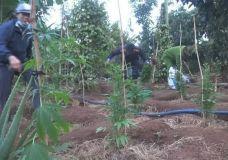 Phát hiện hơn 1.000 cây cần sa, chủ khai trồng cho… gà!